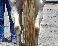 homozygous-blue-roan-quarter-horse