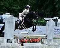 stud-service-morgan-horse