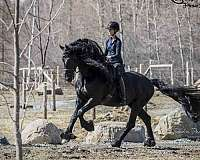 etalon-frison-quebec-stallion