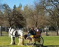 team-sorting-gypsy-vanner-horse