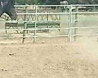 team-roping-gypsy-vanner-horse