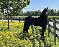 black-stallion-for-sale