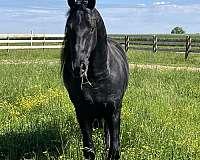 16-hand-friesian-horse