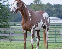 bay-overo-frame-horse