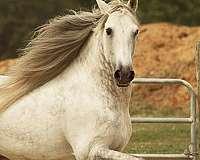 dapple-grey-andalusian-horse