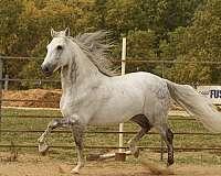 dappled-andalusian-horse