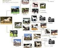 grulla-andalusian-horse