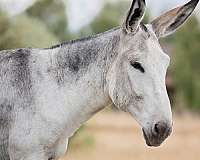 gaited-donkey