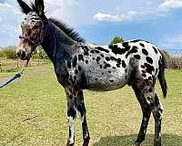stallion-semen-donkey