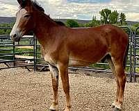 stud-donkey