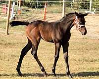 show-prospect-thoroughbred-horse