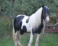long-haired-gypsy-vanner-horse