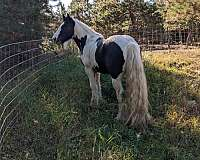 draught-gypsy-vanner-horse