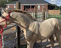 perlino-double-cream-horse