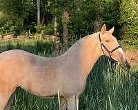 cremello-andalusian-horse