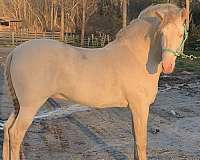 perlino-horse
