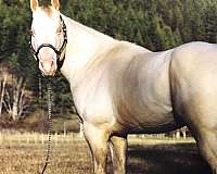 perlino-no-markings-horse