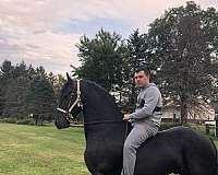 friesian-stallion