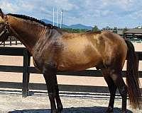 stud-fee-lusitano-horse
