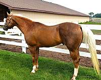 aqha-apha-stallion