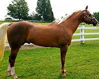 palomino-aqha-apha-horse