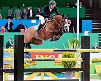 sporthorse-stallion-dutch-warmblood-horse