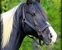 homozygous-tobiano-missouri-fox-trotter-horse