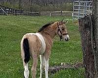 tobiano-gaited-horse