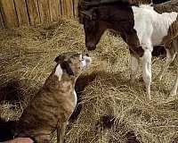 tobiano-homozygous-black-horse