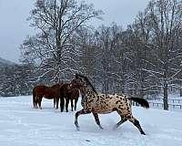 dressage-knabstrupper-horse