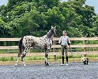homozygous-knabstrupper-horse