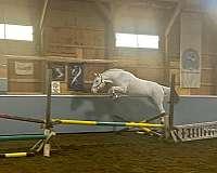 champion-knabstrupper-horse