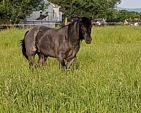 blue-roan-homozygous-black-horse