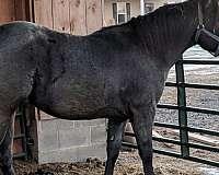 blue-roan-penning-horse