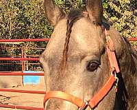 recreational-quarter-horse