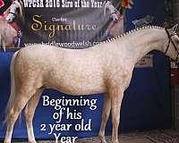breeding-welsh-pony