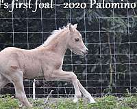 three-year-old-welsh-pony