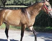 akhal-teke-buckskin-metallic-horse