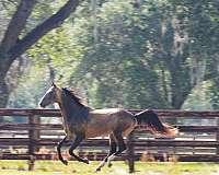 stud-fee-akhal-teke-horse