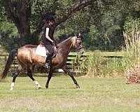 stallion-semen-akhal-teke-horse