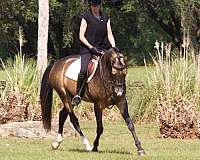 working-akhal-teke-horse