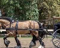 dressage-gypsy-vanner-horse