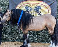 gypsy-cob-vanner-horse