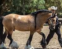 buckskin-gypsy-vanner-stallion