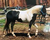tobiano-dressage-horse