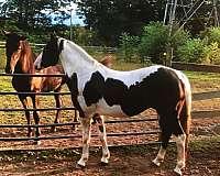 tobiano-hunter-horse