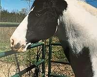 white-dressage-horse