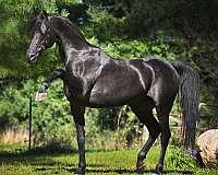 one-owner-arabian-horse