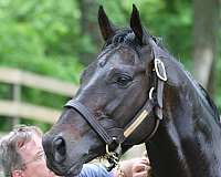 champion-thoroughbred-horse