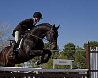 bay-hunter-jumper-horse